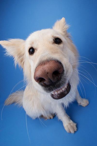 White dog close up